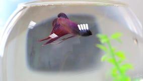 Jeden czerwieni ryba w małym akwarium zdjęcie wideo