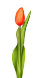Jeden czerwieni tulipany odizolowywający na bielu Obrazy Royalty Free