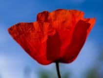 Jeden czerwony maczek na białym tle Fotografia Royalty Free