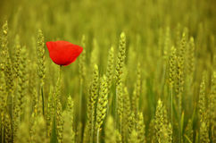 Jeden czerwony maczek w pszenicznym polu Zdjęcia Royalty Free