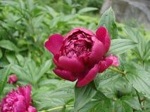 Jeden czerwony peonia kwiat 'łódeczka' na deszczowym dniu Obraz Stock
