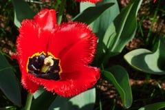 jeden czerwony tulipan Obrazy Royalty Free