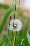 Jeden dandelion Zdjęcie Royalty Free