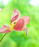 Jeden delikatny dmuchający jaskrawy koloru żółtego i menchii tulipan na zamazanej zieleni Zdjęcie Royalty Free