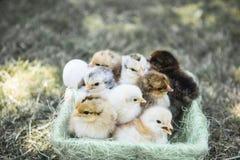 Jeden dnia kurczaki w koszu Obrazy Stock