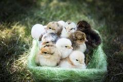 Jeden dnia kurczaki w koszu Zdjęcia Stock