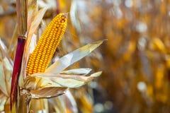 Jeden dojrzały żółty cob słodka kukurudza na polu Obrazy Royalty Free