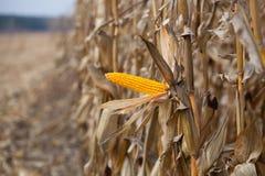 Jeden dojrzały żółty cob słodka kukurudza na polu Zdjęcia Stock