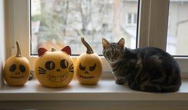 Jeden domowy tomcat obsiadanie na windowsill i czekanie dla Halloween świętowania z dwa zim baniami zdjęcia royalty free