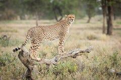 Jeden dorosłej kobiety geparda pozycja na nieżywej nazwie użytkownika Ndutu, Serengeti Fotografia Royalty Free