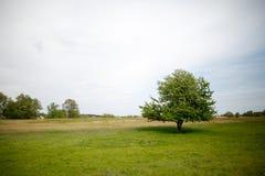 Jeden drzewo na zielonej łące Zdjęcie Royalty Free