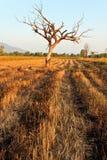 Jeden drzewo w polu Obraz Royalty Free