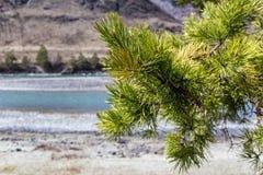 Jeden duża sosny gałąź w górach przy rzecznym tłem Zdjęcia Royalty Free