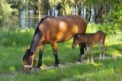 Jeden duży koń i jeden mały koń Fotografia Royalty Free