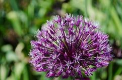Jeden duży kwiat od rodzinnych alliums Obraz Stock