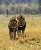 Czarni grzywiaści Kalahari lwy Fotografia Royalty Free