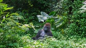 Jeden Dzika goryla Silverback góra w Tropikalnej dżungli Zdjęcie Stock