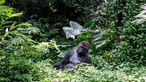 Jeden Dzika goryla Silverback góra w Tropikalnej dżungli Zdjęcia Stock