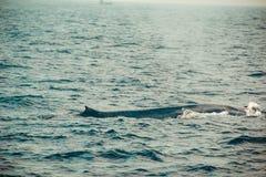 Jeden Dziki błękitnego wieloryba dopłynięcie w oceanie indyjskim Przyrody natury tło Przestrzeń dla teksta Przygody Turystyka Pod Zdjęcie Royalty Free