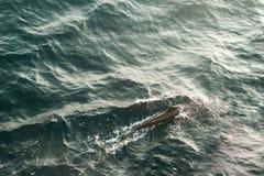 Jeden dziki beaked delfin pływa w oceanie indyjskim Przyrody natury tło Przestrzeń dla teksta Przygody Turystyka Podróży wycieczk Zdjęcie Stock