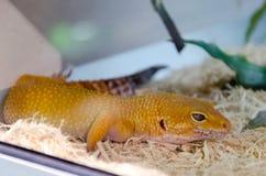 Jeden dziwna żółta pomarańczowa jaszczurka Fotografia Royalty Free