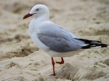 Jeden Footed Seagull fotografia stock