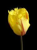 Jeden frędzlasty tulipanowy kwiat 'Flamenco' na czerni (czerwień i kolor żółty) Zdjęcie Stock