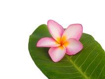 Jeden frangipani na liściach Zdjęcia Stock