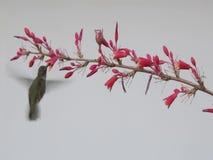 Jeden hummingbird goni inni powroty i oddalonego wtedy zdjęcie wideo