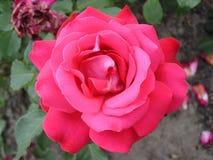 Jeden Hybrydowy herbaty róży kwiat 'Duftwolke' Zdjęcia Royalty Free