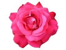 Jeden Hybrydowy herbaty róży kwiat 'Duftwolke' Obraz Stock