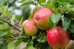 Jeden jabłko trzy fotografia stock