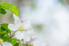 Jeden jabłoni okwitnięcia kwiat na gałąź przy wiosną Piękny kwitnienie kwiat odizolowywający z zamazanym tłem obraz stock