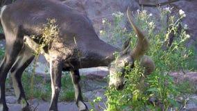 Jeden kózka je zielonych krzaki outdoors z dużymi rogami Dorosły dzikiej kózki pasanie w górach zdjęcie wideo
