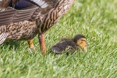 Jeden kaczka z dwa małymi kurczątkami przy jeziorem Zdjęcie Stock