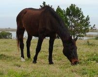 JEDEN koń OBSERWUJĄ W THE FIELD łasowania trawie obrazy stock
