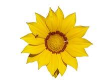 Jeden kolor żółty z pomarańczowym lampasa gazania kwiatem z mrówką odizolowywającą Fotografia Stock