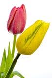 Jeden koloru żółtego i czerwieni tulipan z wodnymi kroplami Zdjęcie Royalty Free