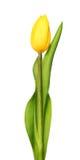 Jeden koloru żółtego tulipany odizolowywający na bielu Obrazy Royalty Free