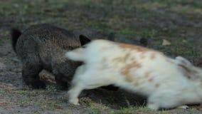 Jeden królik Skacze Inny zbiory wideo