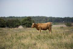 Jeden krowa na polu Obraz Stock