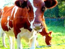 Jeden krowy za ogrodzeniem Zdjęcia Royalty Free