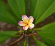 jeden kwiat Zdjęcie Royalty Free