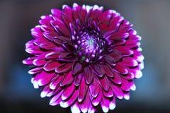 Jeden kwiatu astery Zdjęcia Stock