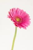 Jeden kwiatu gerbera Zdjęcia Royalty Free