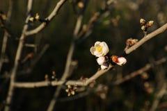Jeden kwiatu pączek kwitnie na gałązce migdałowy drzewo w wczesnej wiośnie Obrazy Stock