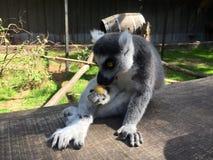 Jeden lemur małpy łasowanie obrazy stock