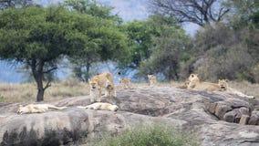Jeden lew i kilka lwicy z lisiątkami na ampule siwiejemy skałę Obraz Stock