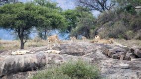 Jeden lew i kilka lwicy z lisiątkami na ampule siwiejemy skałę Zdjęcia Stock