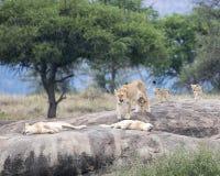 Jeden lew i kilka lwicy z lisiątkami na ampule siwiejemy skałę Zdjęcia Royalty Free